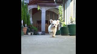 Funny Little Maltese Puppy