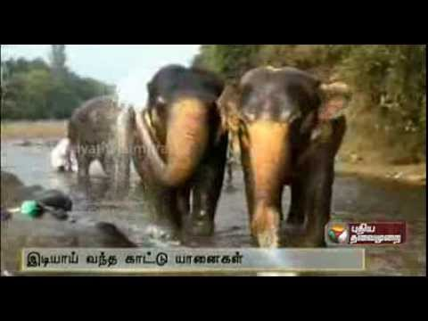 Wild Elephants enter Elephant camp
