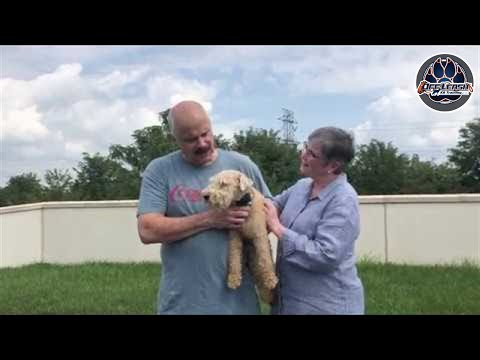 Harry: 10 Month Lakeland Terrier   Obedience Transformation   Northern Virginia Dog Trainers