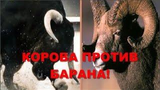 КОРОВА ПРОТИВ БАРАНА! THE COW VS SHEEP!