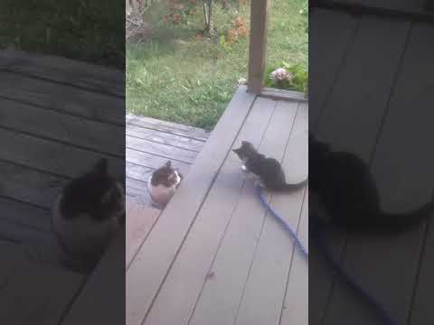 Mother cat hates kitten. Hissing cat