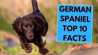 German Spaniel  TOP 10 Interesting Facts