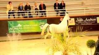 Nader Al Aliaa - Stallions Parade - Normandie Arabian Festival 2014 (2)