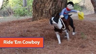 Boston Terrier Wears Cowboy Costume