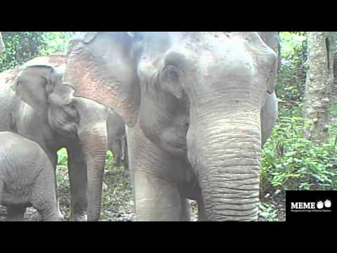 Malaysian elephants discuss camera traps
