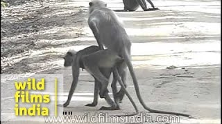 Langur monkeys mating or show of dominance?