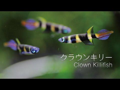 #40.クラウンキリー Clown Killifish