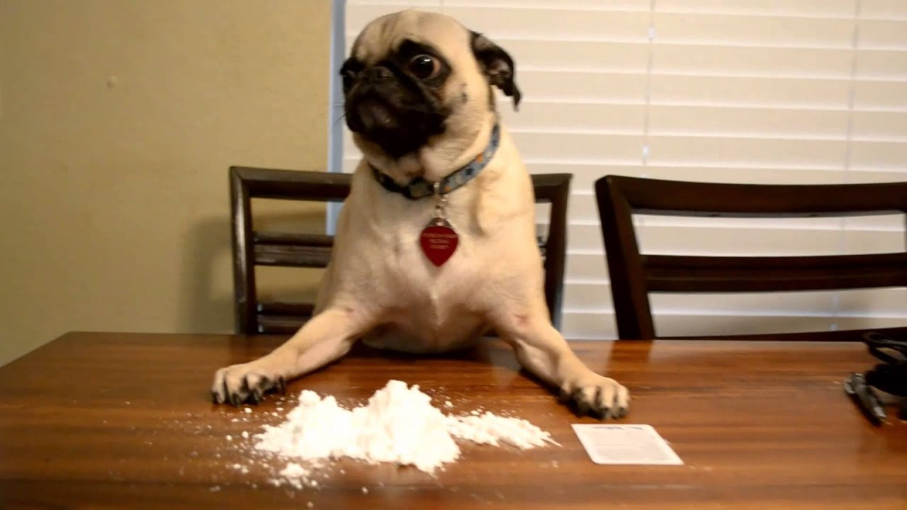Im In Love With The Coco Pug Youtube