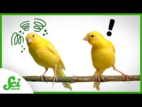 Seeing Sick Birds Boosts Canaries' Immune Responses