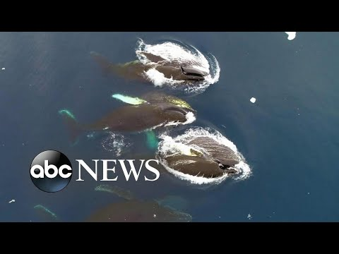 Antarctic whales an indicator for world environmental health, scientists say: Part 2