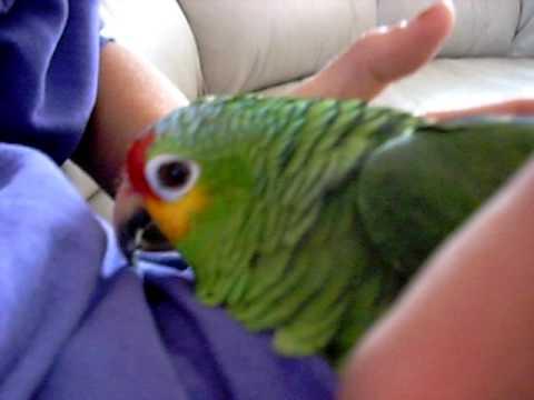 amazon parrot talking