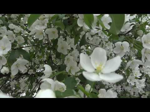 Моя любимая яблоня - китайка цветет )))