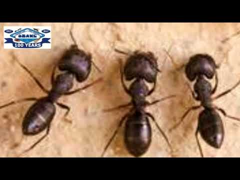 Black Ants In Toms River Nj 732 504 3758 Ozane