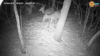 Łanie w karmisku dla zwierząt w lesie na Podkarpaciu
