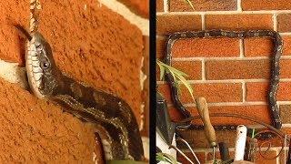 Rat Snake Climbs Wall and Makes Square thumbnail