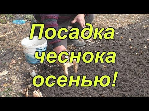 Как правильно посадить осенью чеснок
