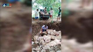Flu Babi Ancam Peternak dan Penjual Ikan - Flores Timur