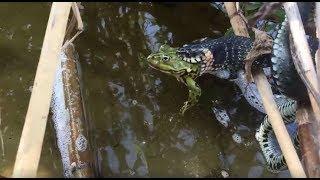 Вуж їсть жабу