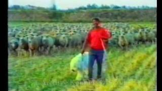 Южнорусская овчарка в Аскании-Нова/SRO in Askania -Nova.
