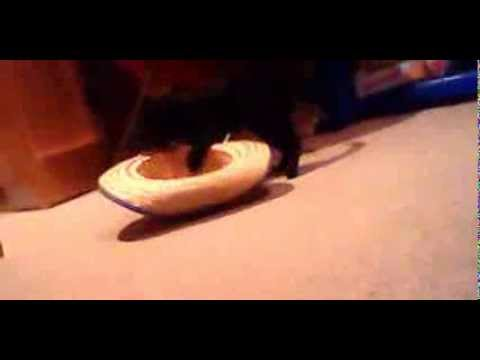 "Cat Kong vs. Catzilla: Bloopers! (alternate ""fight"" scene)"