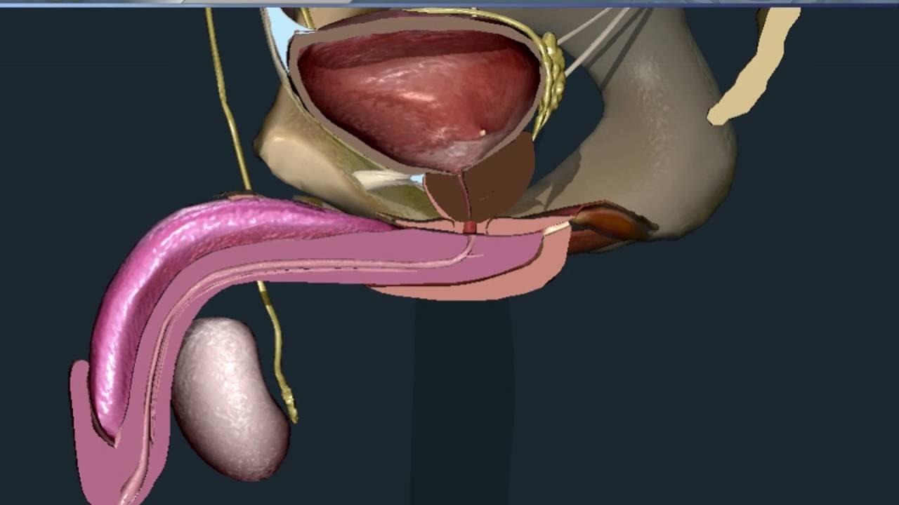 maschio con apertura uretrale allargata