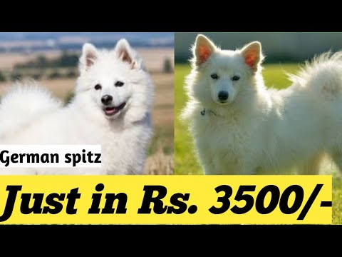 cute German spitz male dog available in low price