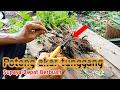 Potong akar tunggangnya-agar bibit rambutan cepat berbuah