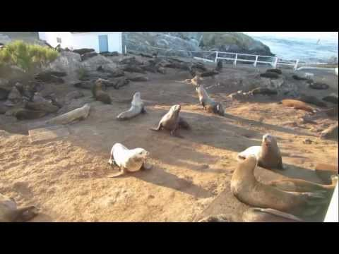 Galloping Steller Sea Lions