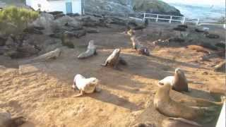 Galloping Steller Sea Lions