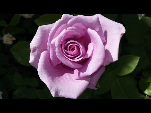 Мульчирование роз. Мой
