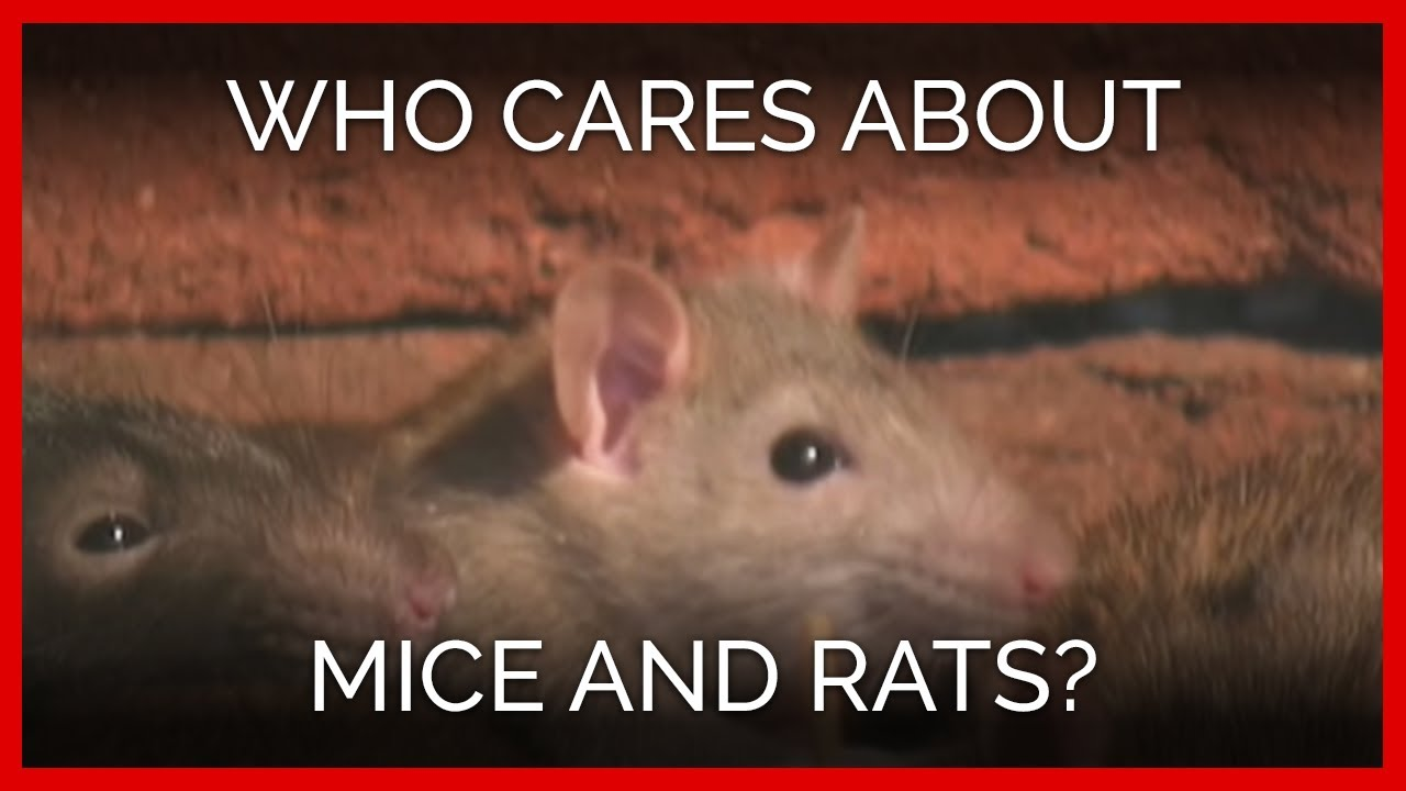 Is there a humane way to get rid of mice and rats? | PETA