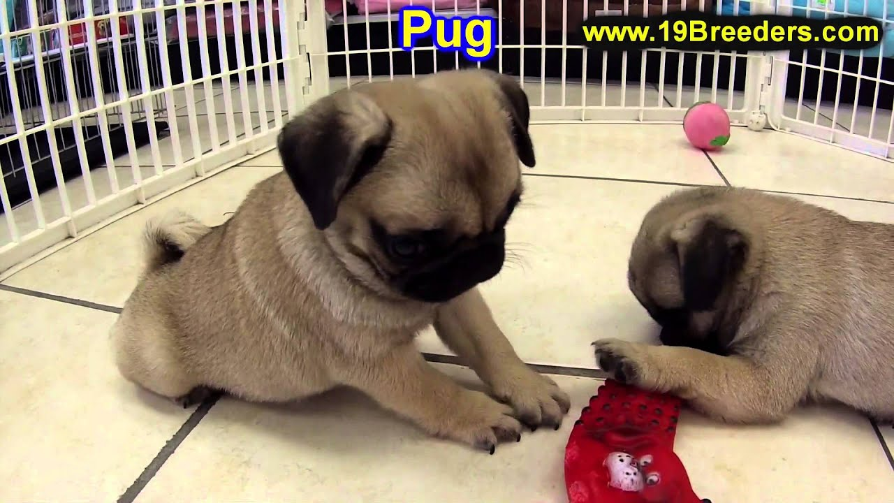 Pitbull puppies for sale in indiana - Pug Puppies For Sale In Indianapolis Indiana In Valparaiso Goshen Westfield Merrillville Youtube