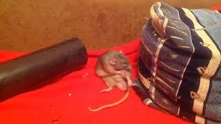 Крыса умывается