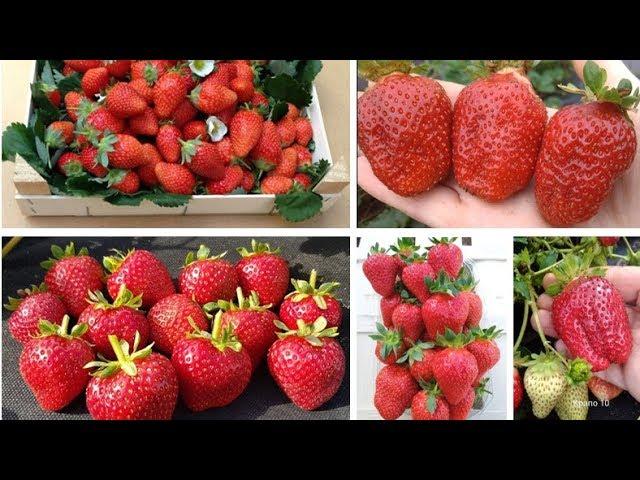 Фантастический урожай, изысканный вкус и спартанский характер:  Кабрилло, Маригуэтта и Крапо