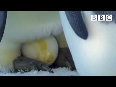 The Spectacular Sight Of An Emperor Penguin Laying Her Egg | Penguins: Spy In The Huddle - BBC