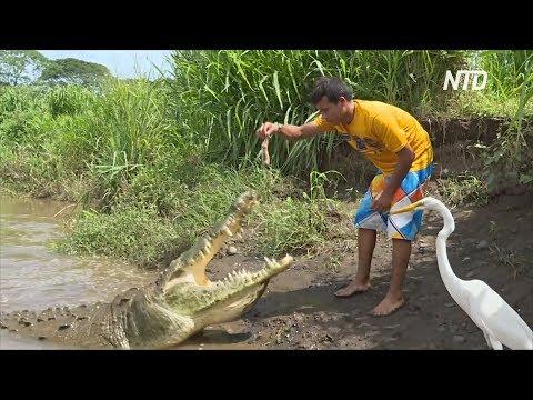 Опасная работа: костариканец выманивает крокодилов на потеху туристам