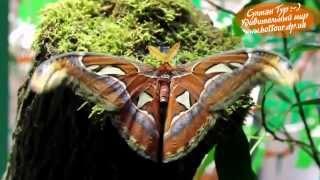 самая крупная бабочка в мире