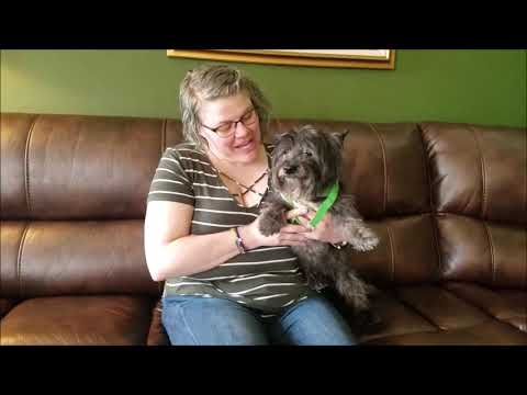 "Cairn Terrier ""Hadley"" for adoption through Cairn Rescue USA"