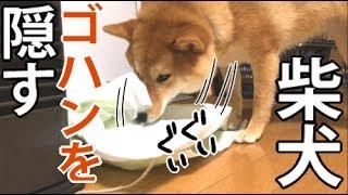 【柴犬どんぐり】気に入らないゴハンは包んでしまう thumbnail