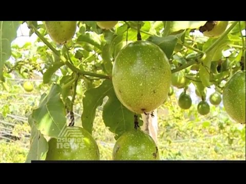 Passion fruit farming in Nelliyampathy  Orange and Vegetable Farm