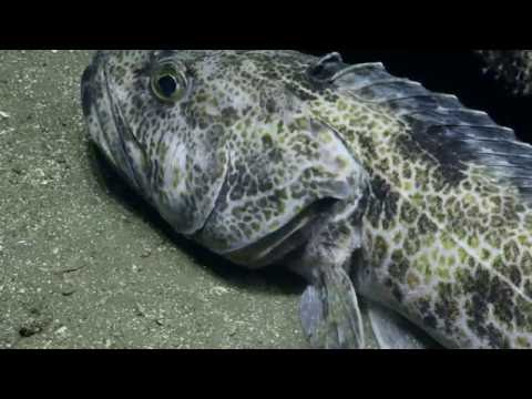 Exotic Fish of the Channel Islands National Marine Sanctuary | Nautilus Live