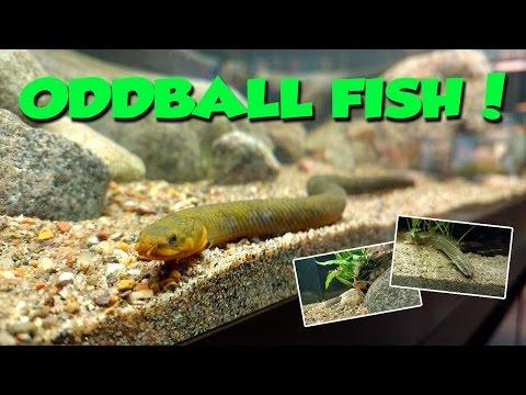 Oddball Aquarium Fish