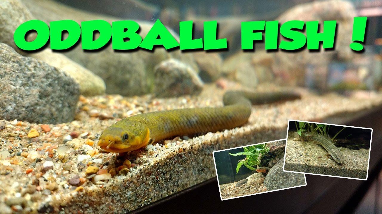 Freshwater aquarium fish oddballs - Oddball Aquarium Fish