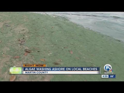Green sand: Algae washing ashore on South Florida beaches