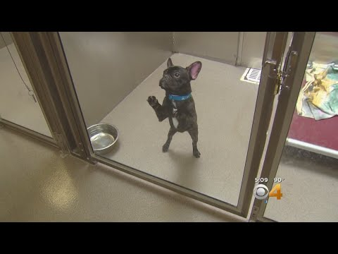 15 Rescued Frenchies, Dogs Adopted