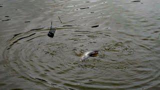 Плотва та підлящ на Обвідному каналі