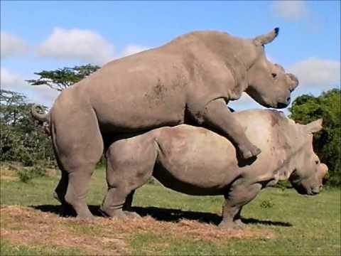 Northern White Rhinos, Suni and Najin, Mate Again!