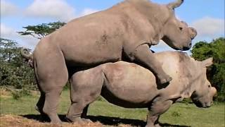 Repeat youtube video Northern White Rhinos, Suni and Najin, Mate Again!