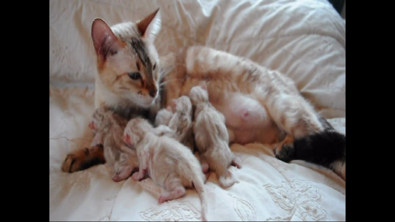 Snow BENGAL KITTENS 12 hours old born here at Maplewood Bengals ...