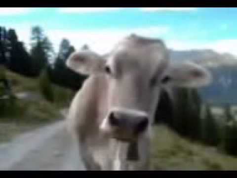 Cow from cuba